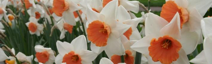 daffodil2_MF_Djb78