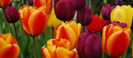 Tulips_Smaller