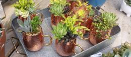 IB_SucculentMules_Sunnyside